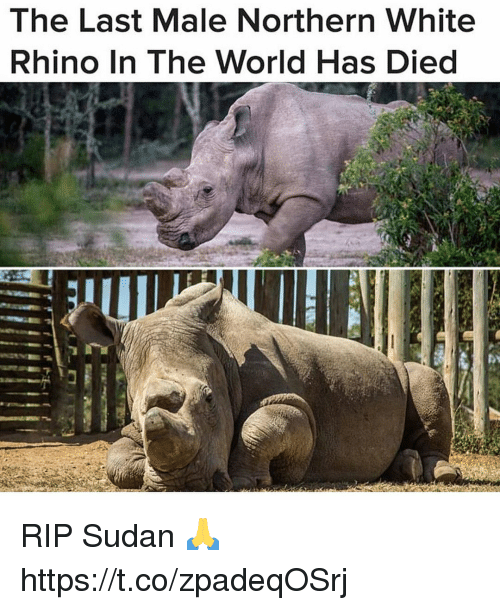 Memes, White, and World: The Last Male Northern White  Rhino In The World Has Died RIP Sudan 🙏 https://t.co/zpadeqOSrj