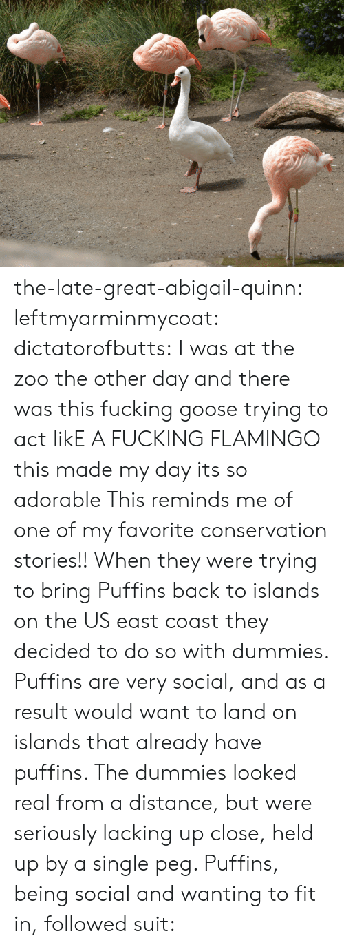 Fucking, Tumblr, and Blog: the-late-great-abigail-quinn: leftmyarminmycoat:  dictatorofbutts:  I was at the zoo the other day and there was this fucking goose trying to act likE A FUCKING FLAMINGO  this made my day its so adorable  This reminds me of one of my favorite conservation stories!! When they were trying to bring Puffins back to islands on the US east coast they decided to do so with dummies. Puffins are very social, and as a result would want to land on islands that already have puffins. The dummies looked real from a distance, but were seriously lacking up close, held up by a single peg. Puffins, being social and wanting to fit in, followed suit: