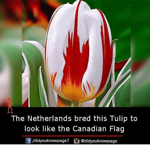 Memes, Netherlands, and Canadian: The Netherlands bred this Tulip to  look like the Canadian Flag  /didyouknowpagel  @didyouknowpage