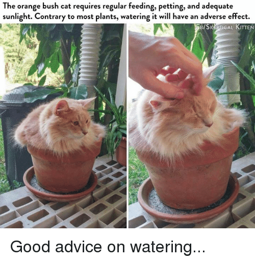 Advice, Memes, and Good: The orange bush cat requires regular feeding, petting, and adequate  sunlight. Contrary to most plants, watering it will have an adverse effect.  BISKEPTICAL KITTEN Good advice on watering...