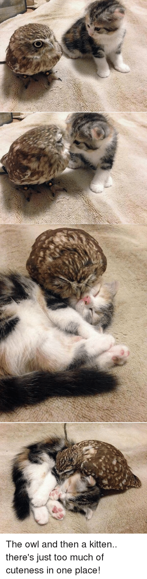 Too Much, Bond, and Owl: The owl and then a kitten.. there's just too much of cuteness in one place!