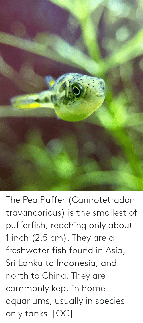 China, Fish, and Home: The Pea Puffer (Carinotetradon travancoricus) is the smallest of pufferfish, reaching only about 1 inch (2.5 cm). They are a freshwater fish found in Asia, Sri Lanka to Indonesia, and north to China. They are commonly kept in home aquariums, usually in species only tanks. [OC]