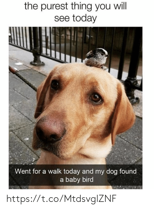 Memes, Today, and Baby: the purest thing you will  see today  Went for a walk today and my dog found  a baby bird https://t.co/MtdsvglZNF