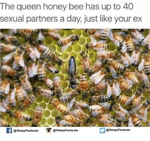 Ex's, Memes, and Queen: The queen honey bee has up to 40  sexual partners a day, just like your ex  @sleepy Panda.me  @sleepy Panda.me  @Sleepy Pandame