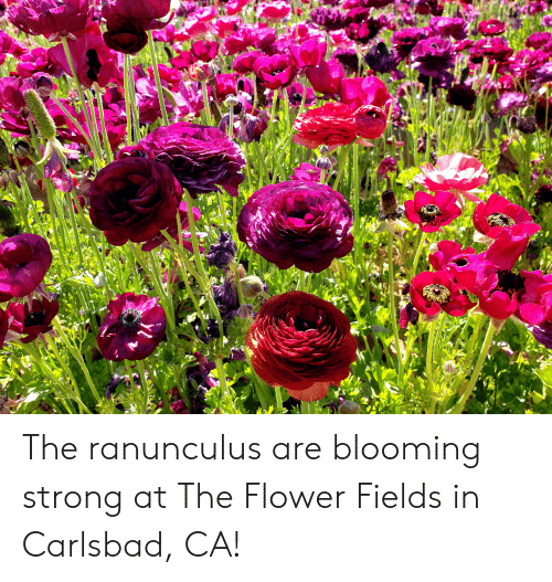 Flower, Strong, and The: The ranunculus are blooming strong at The Flower Fields in Carlsbad, CA!