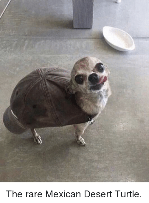 Turtle, Mexican, and Rare: The rare Mexican Desert Turtle.
