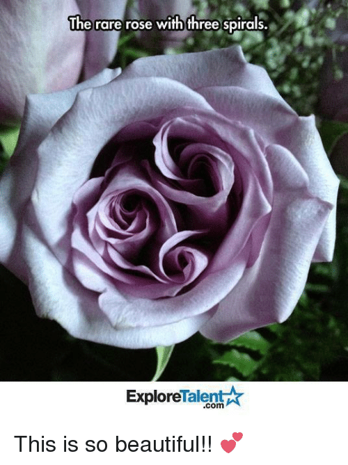 Memes, 🤖, and Spiral: The rare rose with three spirals.  Talent  Explore This is so beautiful!! 💕