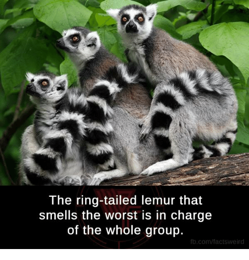 the ring tailed lemur that smells the worst in charge of 7057370 ✅ 25 best memes about lemur lemur memes