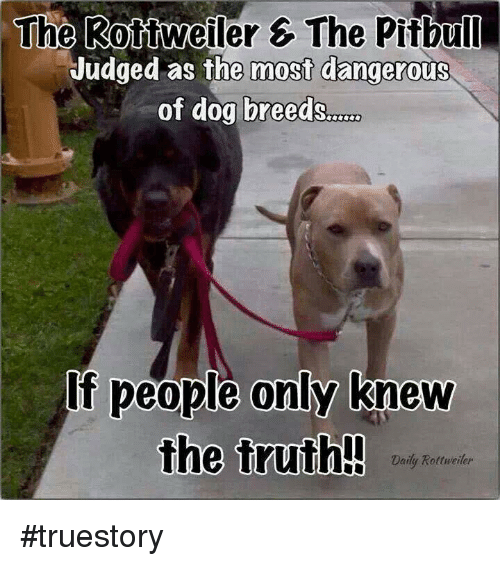 Memes, Pitbull, and Rottweiler: The Rottweiler 6 The Pitbull  Judged as the most dangerous  of dog breeds  If people only knew  the truth!!  Daily Rottweiler #truestory