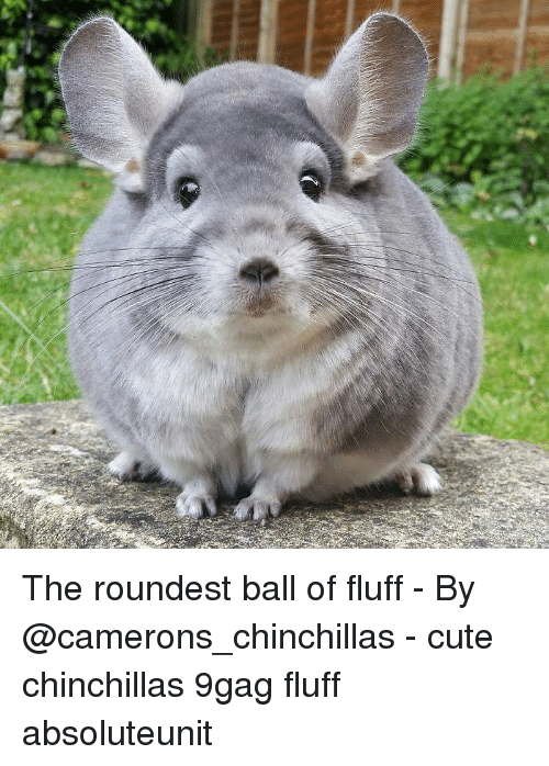 9gag, Cute, and Memes: The roundest ball of fluff - By @camerons_chinchillas - cute chinchillas 9gag fluff absoluteunit