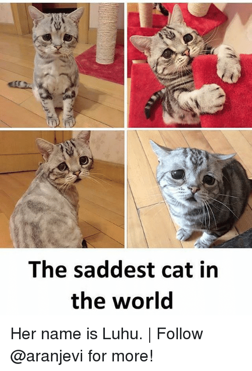 Memes, World, and 🤖: The saddest cat in  the world Her name is Luhu. | Follow @aranjevi for more!