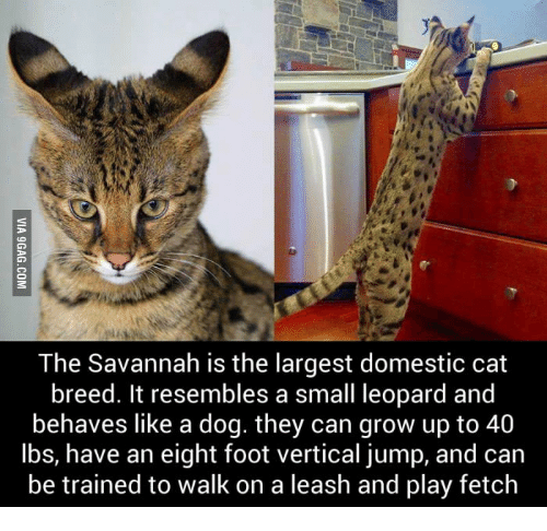 cat that acts like a dog