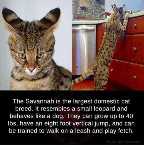 The Savannah Is the Largest Domestic Cat Breed It Resembles