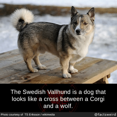 Corgi, Memes, and Cross: The Swedish Vallhund is a dog that  looks like a cross between a Corgi  and a wolf  Photo courtesy of TS Eriksson / wikimedia  @factsweird