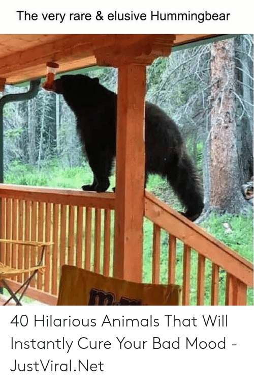 Animals, Bad, and Mood: The very rare & elusive Hummingbear 40 Hilarious Animals That Will Instantly Cure Your Bad Mood - JustViral.Net