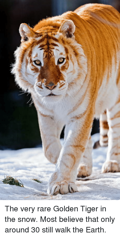 Earth, Snow, and Tiger: The very rare Golden Tiger in the snow. Most believe that only around 30 still walk the Earth.