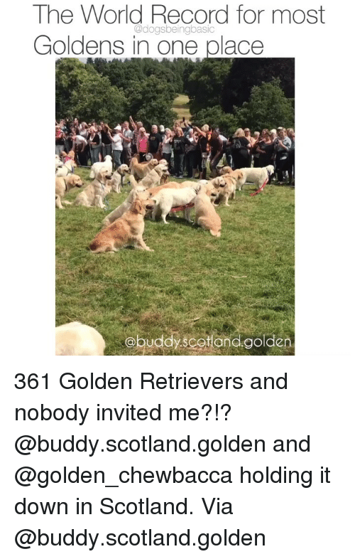 Chewbacca, Memes, and Record: The World Record for most  Goldens in one place  @dogsbeingbasic  obuddy scotan golden 361 Golden Retrievers and nobody invited me?!? @buddy.scotland.golden and @golden_chewbacca holding it down in Scotland. Via @buddy.scotland.golden