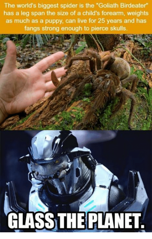 the-worlds-biggest-spider-is-the-goliath