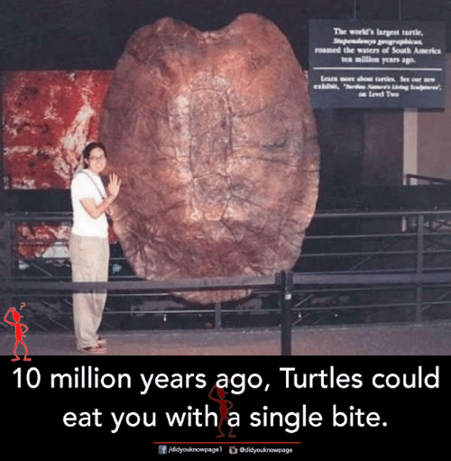Memes, Turtle, and Single: The world's largest turtle,  roamed the waters of South Amerkc  10 million years ago, lurtles could  eat you with a single bite.