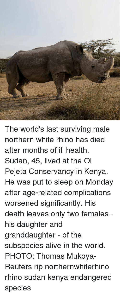 Alive, Memes, and Death: The world's last surviving male northern white rhino has died after months of ill health. Sudan, 45, lived at the Ol Pejeta Conservancy in Kenya. He was put to sleep on Monday after age-related complications worsened significantly. His death leaves only two females - his daughter and granddaughter - of the subspecies alive in the world. PHOTO: Thomas Mukoya-Reuters rip northernwhiterhino rhino sudan kenya endangered species