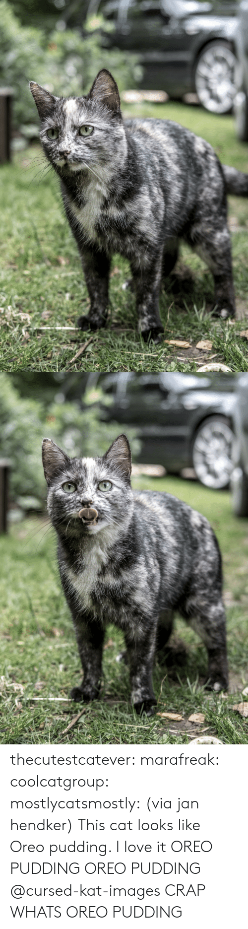 Love, Tumblr, and Blog: thecutestcatever:  marafreak:  coolcatgroup: mostlycatsmostly: (via jan hendker) This cat looks like Oreo pudding. I love it   OREO PUDDING OREO PUDDING    @cursed-kat-images   CRAP WHATS OREO PUDDING
