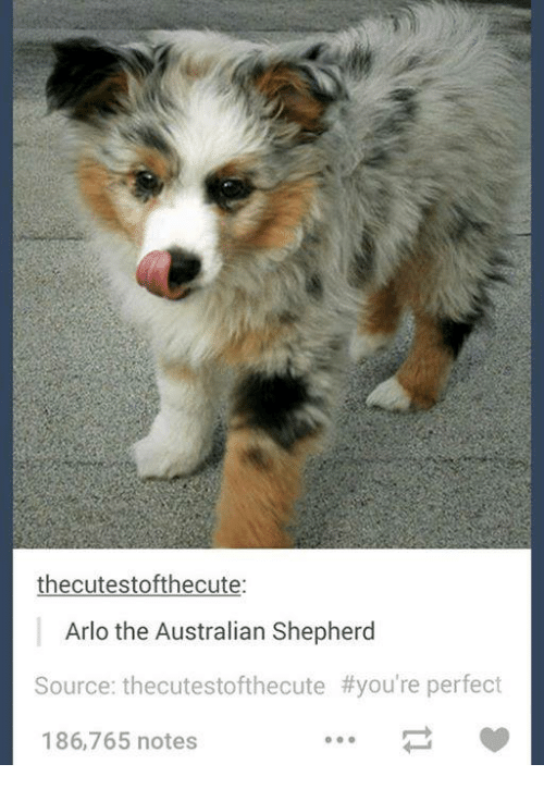 Thecutestofthecute Arlo The Australian Shepherd Source