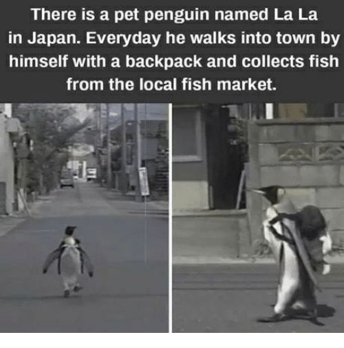 Fish, Japan, and Penguin: There is a pet penguin named La La  in Japan. Everyday he walks into town by  himself with a backpack and collects fish  from the local fish market.