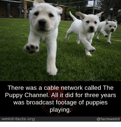 Facts, Memes, and Puppies: There was a cable network called The  Puppy Channel. All it did for three years  was broadcast footage of puppies  playing.  weird-facts.org  @factsweird