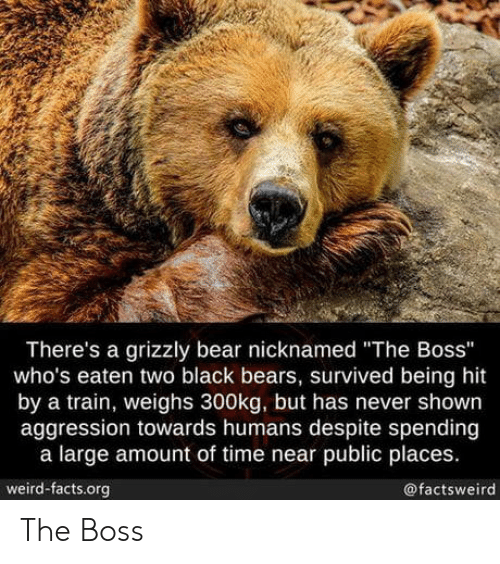 """Facts, Weird, and Bear: There's a grizzly bear nicknamed """"The Boss""""  who's eaten two black bears, survived being hit  by a train, weighs 300kg, but has never shown  aggression towards humans despite spending  a large amount of time near public places.  weird-facts.org  @factsweird The Boss"""