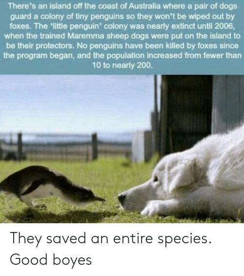 Bailey Jay, Dogs, and Australia: There's an island off the coast of Australia where a pair of dogs  guard a colony of tiny penguins so they won't be wiped out by  foxes. The little penguin' colony was nearly extinct until 2006  when the trained Maremma sheep dogs were put on the island to  be their protectors. No penguins have been killed by foxes since  the program began, and the population increased from fewer than  10 to nearly 200 They saved an entire species. Good boyes