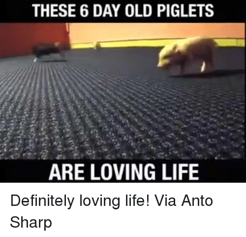Definitely, Memes, and Definition: THESE 6 DAY OLD PIGLETS  ARE LOVING LIFE Definitely loving life!  Via Anto Sharp