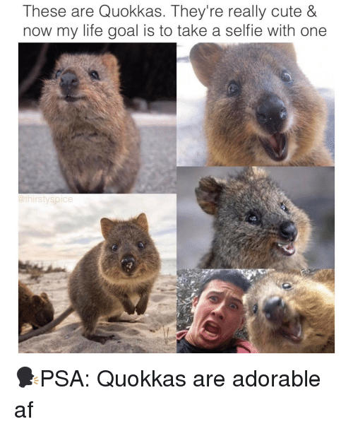 dfbd5a5256 These Are Quokkas They re Really Cute   Now My Life Goal Is to Take ...