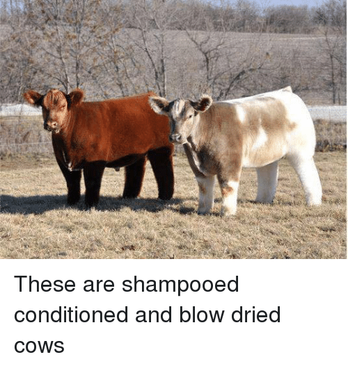 Memes, 🤖, and Cow: These are shampooed conditioned and blow dried cows