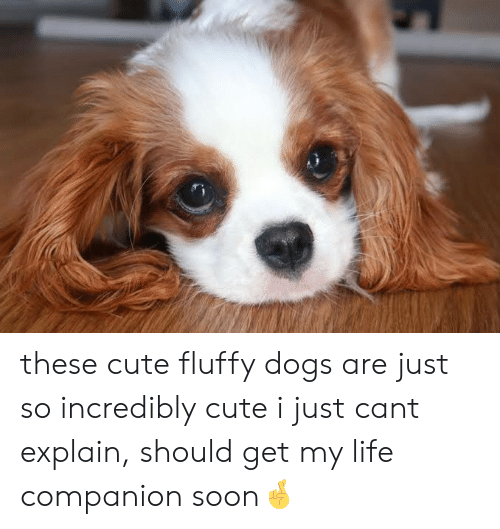 These Cute Fluffy Dogs Are Just So Incredibly Cute I Just ...