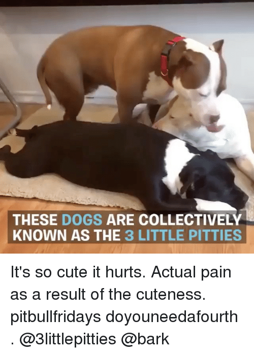 Cute, Dogs, and Memes: THESE DOGS ARE COLLECTIVELY  KNOWN AS THE 3 LITTLE PITTIES It's so cute it hurts. Actual pain as a result of the cuteness. pitbullfridays doyouneedafourth . @3littlepitties @bark