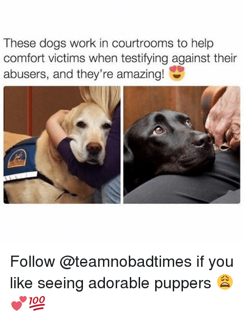 Dogs, Memes, and Work: These dogs work in courtrooms to help  comfort victims when testifying against their  abusers, and they're amazing! Follow @teamnobadtimes if you like seeing adorable puppers 😩💕💯