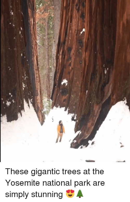 Dank, Trees, and 🤖: These gigantic trees at the Yosemite national park are simply stunning 😍🌲