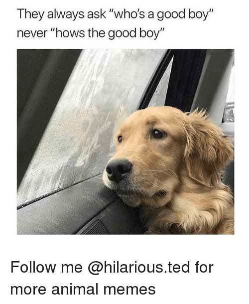 "Funny, Memes, and Ted: They always ask ""who's a good boy""  never ""hows the good boy"" Follow me @hilarious.ted for more animal memes"