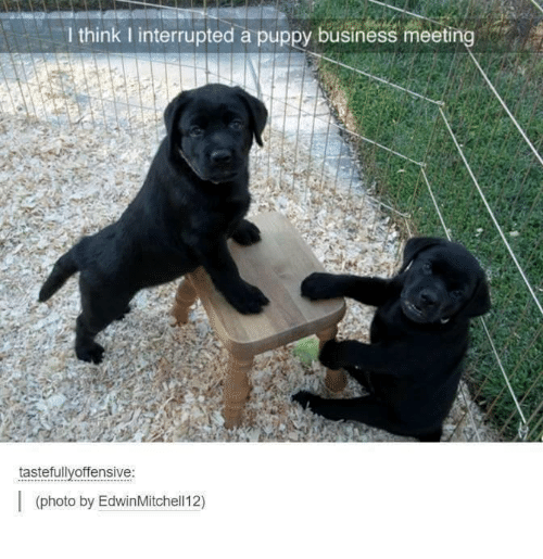 Puppies, Business, and Puppy: think interrupted a puppy business meeting  tastefully offensive  (photo by EdwinMitchell12)