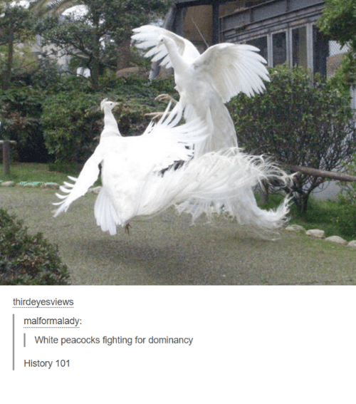 Funny, History, and Peacock: thirdevesviews  malformalady:  White peacocks fighting for dominancy  History 101