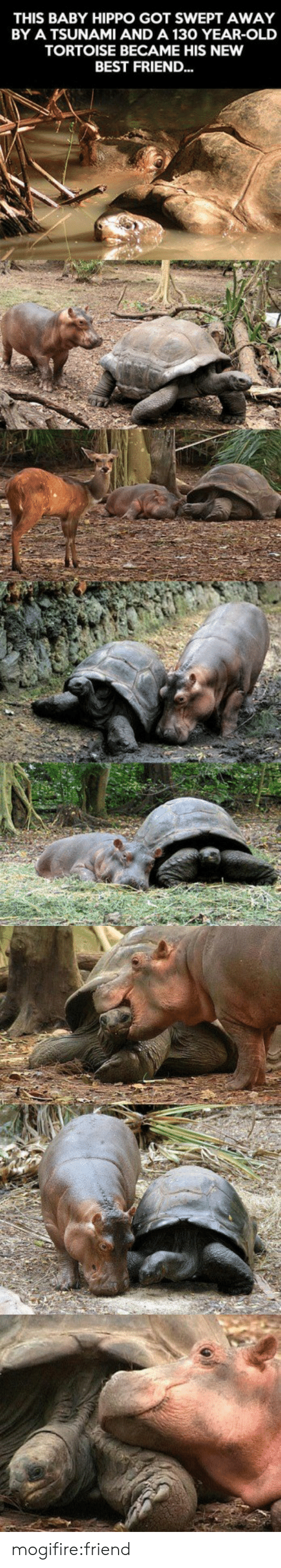 Best Friend, Target, and Tumblr: THIS BABY HIPPO GOT SWEPT AWAY  BY A TSUNAMI AND A 130 YEAR-OLD  TORTOISE BECAME HIS NEW  BEST FRIEND... mogifire:friend