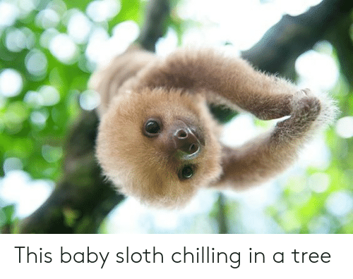 This Baby Sloth Chilling in a Tree | Sloth Meme on ME ME