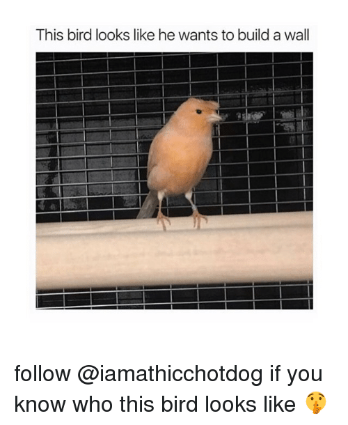 Who, Build A, and You: This bird looks like he wants to build a wall follow @iamathicchotdog if you know who this bird looks like 🤫