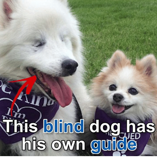 this blind dog has his own guide 3545431 ✅ 25 best memes about blind dog blind dog memes