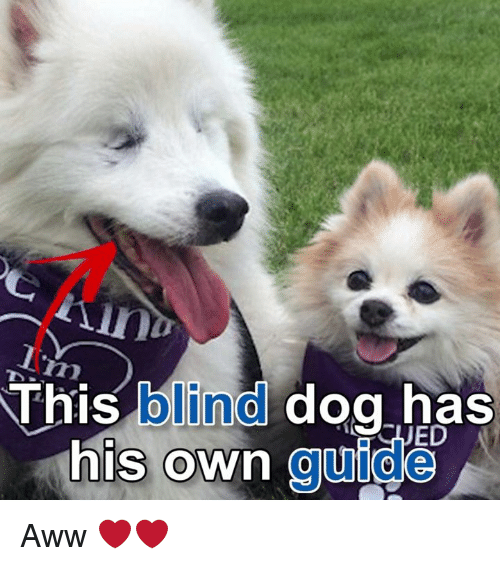 Aww, Memes, and 🤖: This blind dog has  his own guide Aww ❤️❤️