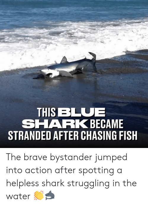 Dank, Shark, and Blue: THIS BLUE  SHARK BECAME  STRANDED AFTER CHASING FISH The brave bystander jumped into action after spotting a helpless shark struggling in the water 👏🦈