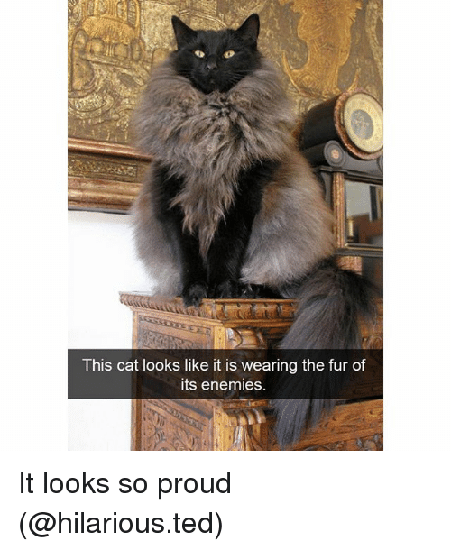 Funny, Ted, and Hilarious: This cat looks like it is wearing the fur of  its enemies. It looks so proud (@hilarious.ted)