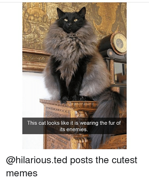 Memes, Ted, and Hilarious: This cat looks like it is wearing the fur of  its enemies. @hilarious.ted posts the cutest memes