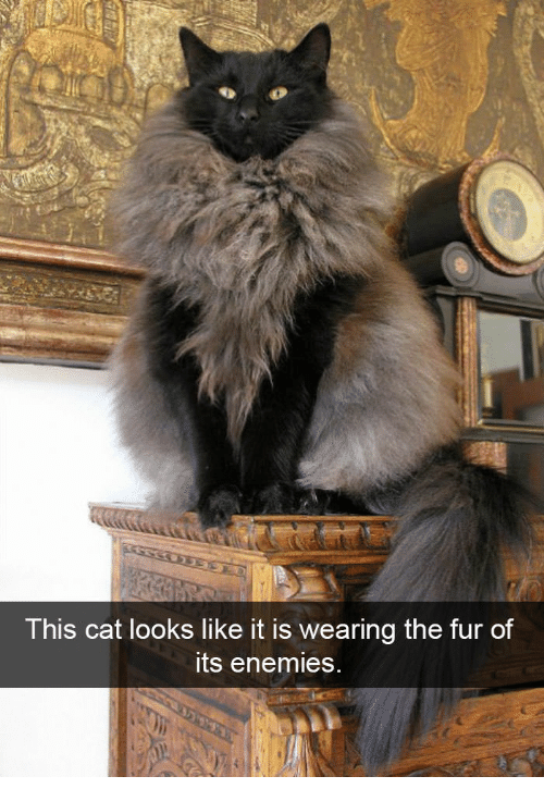 Enemies, Cat, and Fur: This cat looks like it is wearing the fur of  ts enemies