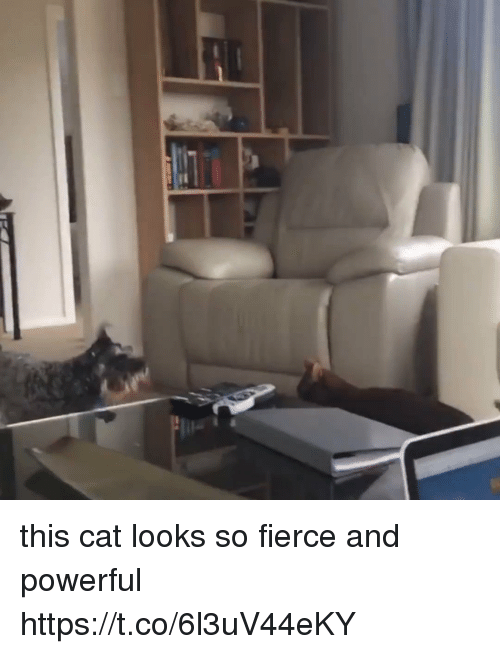 Girl Memes, Powerful, and Cat: this cat looks so fierce and powerful  https://t.co/6l3uV44eKY